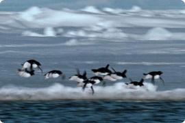 Летающие пингвины Би-Би-Си