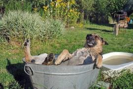 Сигнальный пёс