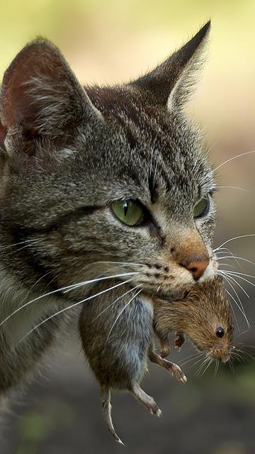 мышь как ловят мышей кошки