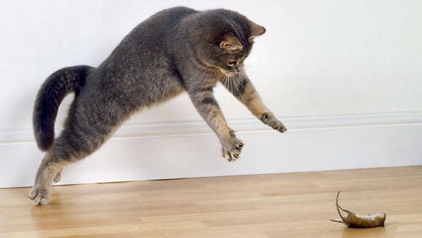коты или кошки ловят мышей