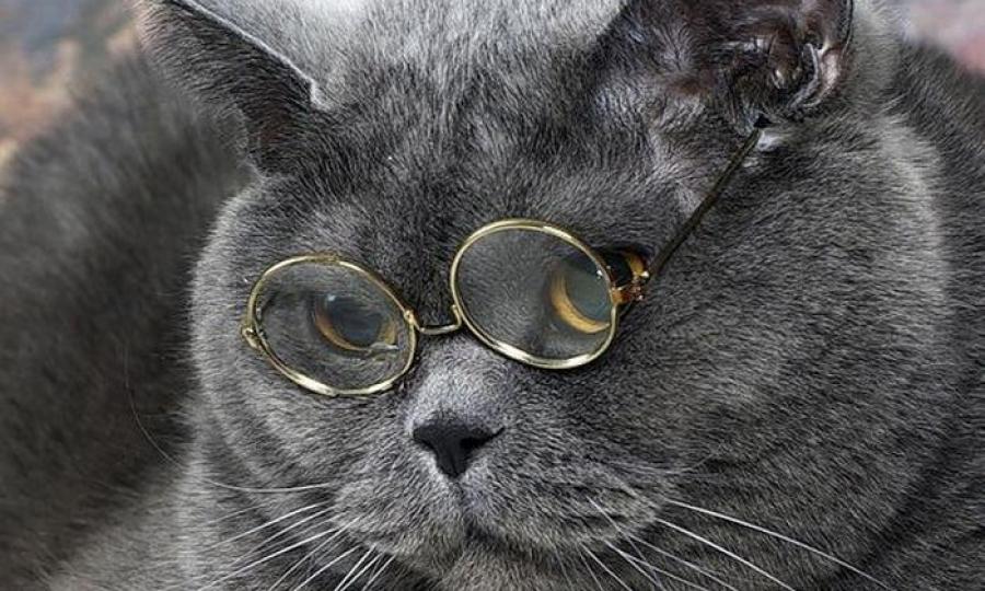 Израильская кот учёный